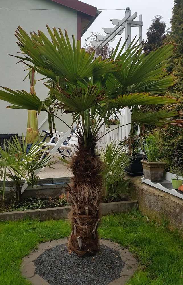 Trachycarpus Fortunei Auspflanzen : re trachycarpus fortunei auspflanzen 4 ~ Eleganceandgraceweddings.com Haus und Dekorationen